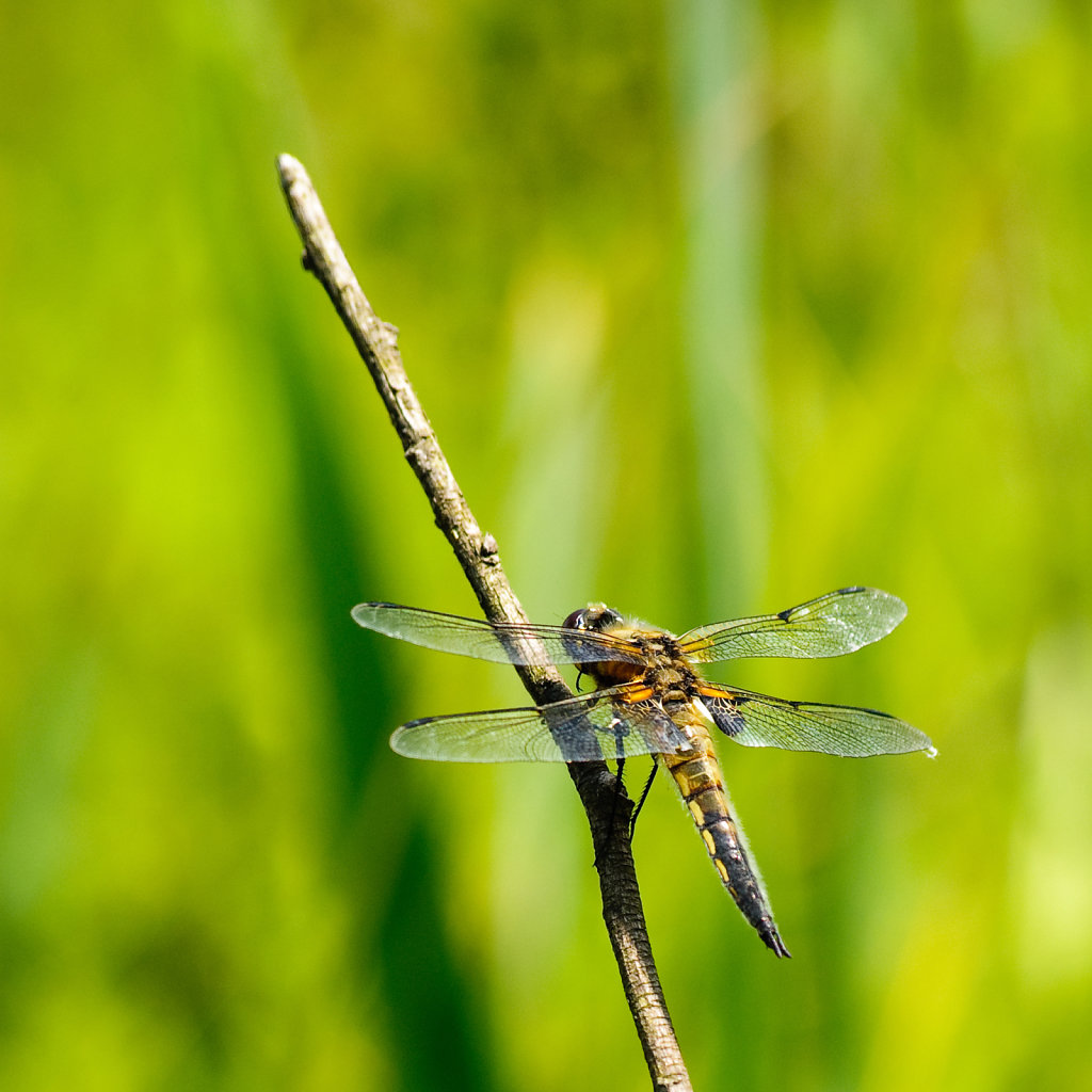 Dragonfly warming up