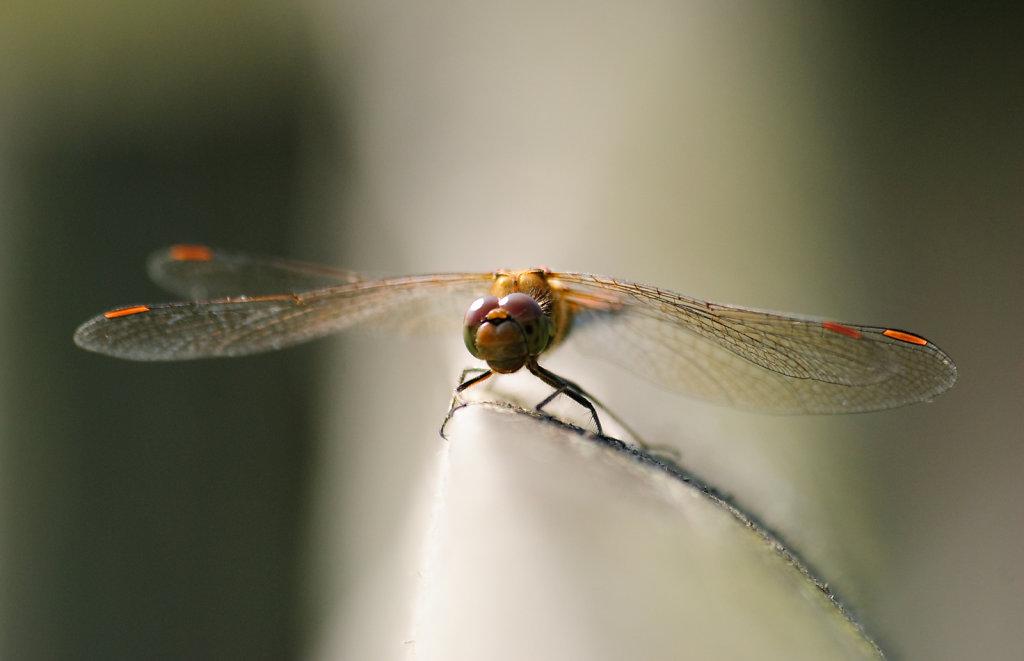 Orange tipped dragonlfy